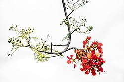 Royal Poinciana Tree Delonix Regia #18