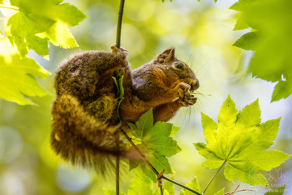 A Cascade golden-mantled ground squirrel (Spermophilus saturatus) feeds on seeds from a low branch of a maple tree near Eatonville, Washington. The Cascade golden-mantled ground squirrel is native in British Columbia and Washington state, found in the Cascade mountains from Nicola River to the Columbia River. As the name suggests, the ground squirrel normally feeds on fungi, vegetation, seeds and small fruits that are found on the ground, although it will climb into bushes and trees to feed.