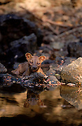 Fossa male at water, Madagascar, Kirindy Forest