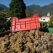 VARNA, ITALY - OCTOBER 13: Harvested Riesling grapes and view of Abbazia di Novacella on October 13, 2010 in Varna, Italy. Abbazia di Novacella, in Alto Adige established in the year 1142 by Augustinian monks, is one of the oldest vineries in the world; it has a production of about 400,000 bottles of world class wines including Kerner, Sylvaner, Pinot Grigio, Gewurtztraminer.