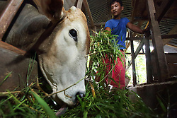 Gifari Jakawali  (arie) 20 has been given responsibilities by his father that he has to complete to pay for his university education. This includes collecting grass and feeding the cows. He was photographed in 2004 at home in Lho-Nga just following by the Indian Ocean tsunami, Aceh Province, Sumatra, Indonesia