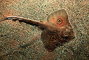 UNDERWATER MARINE LIFE EAST PACIFIC: Northeast FISH: Big skate Raja binoculata