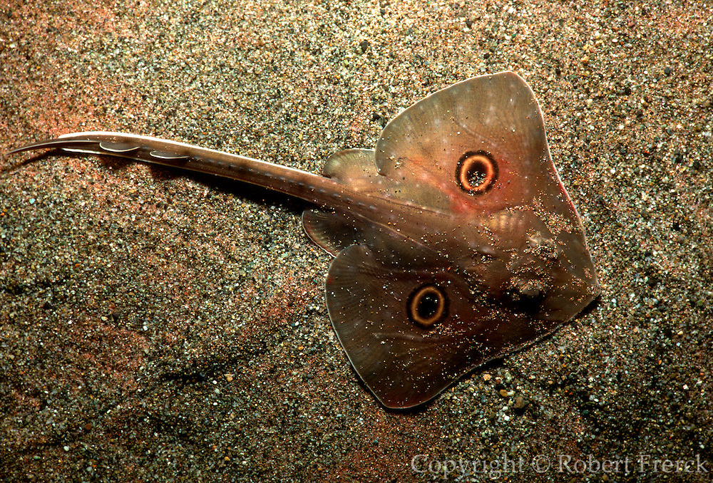 UNDERWATER MARINE LIFE EAST PACIFIC: Northeast FISH: Big skate Raja binoculata