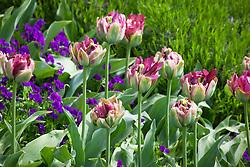 Tulipa 'Boa Vista' with Viola 'Martin' and lavender