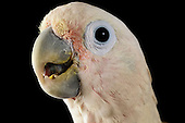Cockatoo | Kakadu