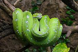 THEMENBILD - Gruene Baumpython (Morelia viridis), captive, Vorkommen Asien, Australien // Green tree python (Morelia viridis), captive, Asia, Australia. EXPA Pictures © 2017, PhotoCredit: EXPA/ Eibner-Pressefoto/ Schulz<br /> <br /> *****ATTENTION - OUT of GER*****