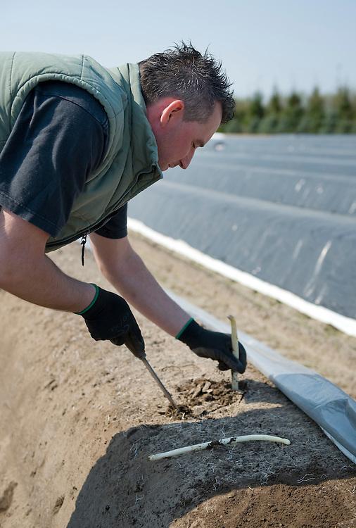 Nederland, Overloon, 15 april 2010.Het aspergeseizoen is weer open. De eerste asperges komen van het land. Nog maar mondjesmaat, want het weer is vrij koud. .Een pool steekt asperges bij een boer in Noord Limburg...Foto (c)  Michiel Wijnbergh