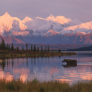 A cow moose (Alces alces) wading in Wonder Lake, Mt. McKinley in the background. Denali National Park, Alaska