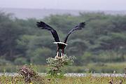 Kenya, lake naivasha, Kenya, African Fish Eagle, Haliaeetus vocifer