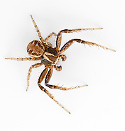 Xysticus cristatus - Male. The commonest of the Crab Spiders. The males are much smaller that the females.