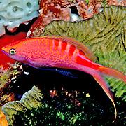Lori's Anthias inhabit reefs. Picture taken Fiji.
