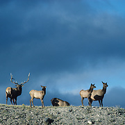 Elk bull and harem of cows on a sandy ridge during the fall in Yellowstone National Park.