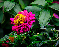 Indoor Hydroponic Zinnia Flower. Image taken with a Fuji X-T2 camera and 100-400 mm OIS lens (ISO 200, 400 mm, f/6.4, 1/70 sec).