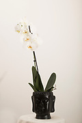 A white Orchid (Phalaenopsis sp.) in flower on white background