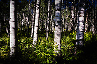 """""""Aspen Afternoon"""" - Colorado<br /> <br /> This was photographed in the early afternoon as the sunlight filtered in down through the trees."""