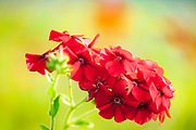 Red drummond phlox, native to Texas grasslands and meadows, Houston, Texas