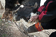 A Kyrgyz man tethers a yak which will be used to carry load on a caravan.  Daily life at the Khan (chief) summer camp of Kara Jylga...Trekking through the high altitude plateau of the Little Pamir mountains (average 4200 meters) , where the Afghan Kyrgyz community live all year, on the borders of China, Tajikistan and Pakistan.