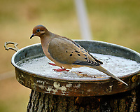 Mourning Dove. Image taken with a Fuji X-T3 camera and 200 mm f/2 lens with 1.4x TC