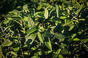 2015/03/03 – Monte Maiz, Argentina: Soy leafs in a field of the crop in Monte Maiz. The town Monte Maiz was named by the amount of corn that once used to be produced on the region. Nowadays soy cultivation took over and it is rare to see any other crop produced. With the intense production of soy and the usage of agro-chemicals many problems arise, such like respiratory and cancer related diseases and environmental issues like contamination of soil and water reserves. (Eduardo Leal)