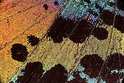 Madagascan sunset moth, Chrysiridia rhipheus, Urania ripheus, Madagascar, close up of colourful wing scales, orange, black, blue