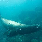 Galapagos Sea Lion (Zalophus californianus) groups swim and play in blue-green water.  Galapagos, Ecuador.