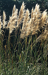 Cortaderia selloana (Pampas grass) blowing in the wind at Bath Botanic gardens