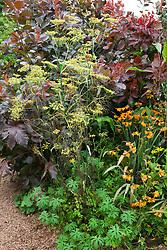 Fennel with Cotinus coggygria Purpureus Group and crocosmia at Glebe Cottage. Foeniculum vulgare