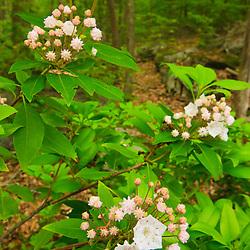 Blooming mountain laurel, Kalmia latifolia, in a hardwood forest in Gloucester, Massachusetts.