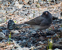 Dark-eyed Junco (Junco hyemalis). Image taken with a Nikon 1 V3 camera and 70-300 mm VR lens.