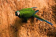 Chestnut-fronted Macaw on Clay Lick<br />Ara severa<br />Clay Lick, Heath River, Border PERU & BOLIVIA.  South America<br />RANGE: Tropical e Panama to Guianas, n Bolivia to Amazon Brazil