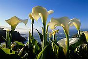 Calla Lilies and the Pacific Ocean, on Northern California's Sonoma Coast.