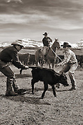 Modern day calf branding near Bondourant, WY with western cowboys and wranglers.