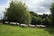 Freshly shorn sheep run through a summer field near Hever, England, United Kingdom.
