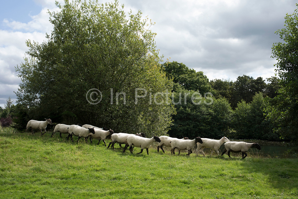 Freshly shorn sheep run through a summer field near Hever, England, United Kingdom.