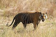 A Bengal tiger, Panthera tigris tigris, walking in a field, Bandhavgarh National Park, India.