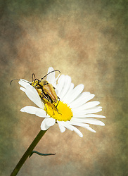 A couple of Golden Longhorn beetles decided to use this wild daisy for some extracurricular activities