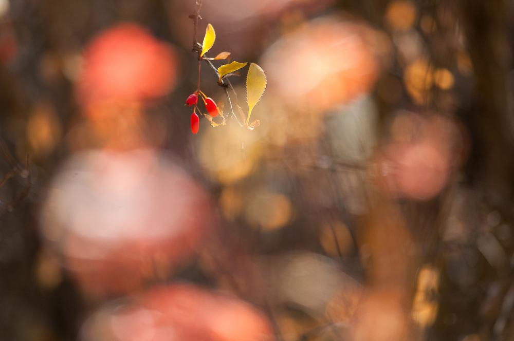Wild rose hips, October, Turnbull National Wildlife Refuge, Washington, USA
