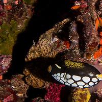 Clown Triggerfish, Balistoides conspicillum, (Bloch & J. G. Schneider, 1801), Maldives