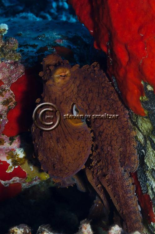 Hawaiian Octopus, Common Octopus, Octopus cyanea, Gray, 1849, Maui Hawaii
