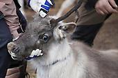Reindeer herding - Slakting Spaklarslia Tydal
