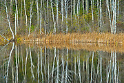 White birch (Betula papyrifera) trees reflected in Long Lake<br />Longlac<br />Ontario<br />Canada