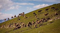 THEMENBILD - ein Rudel von Rotwild grast auf einem Berghang, aufgenommen am 07. März 2019 in Aurach, Oesterreich // A group of deer grazing on a mountain slope, Austria on 2019/03/07. EXPA Pictures © 2019, PhotoCredit: EXPA/Stefanie Oberhauser