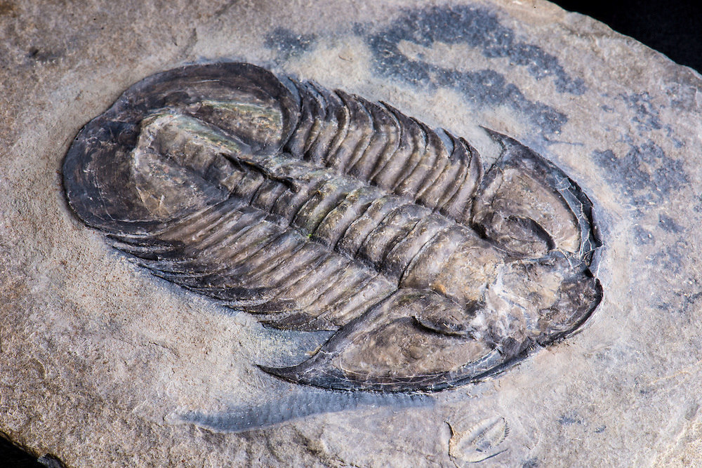 This is amagnificent specimen of one of the largest corynexochid trilobites (sagittal length: 110mm) from the Middle Cambrian Spence Shale strata of Utah. It is the only known example of Glossopleura gigantea with the axial spines on the posterior three segments.