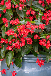 Begonia × hybrida 'Red Whopper' (Whopper series) growing in a large blue glazed pot