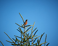 American Robin. Image taken with a Nikon D2xs camera and 105 mm f/2.8 macro lens.