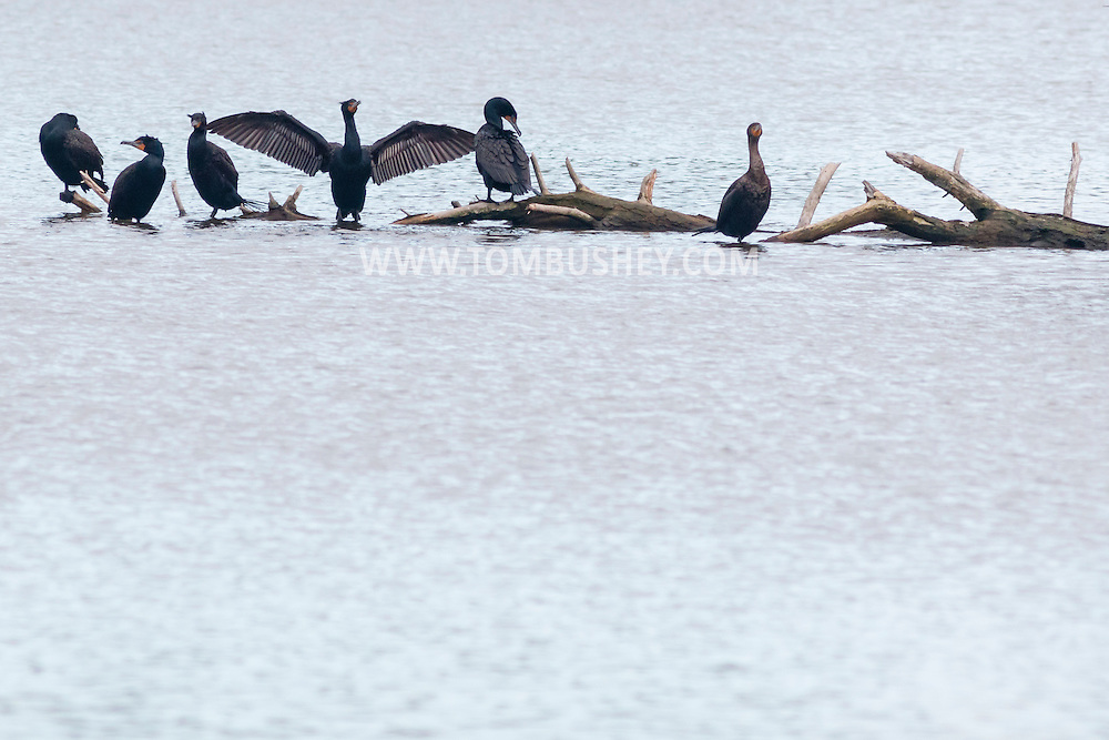 Middletown, New York - Cormorants gather on a tree trunk in the lake at Fancher-Davidge Park on April 23, 2015.