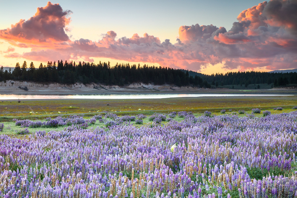 """""""Lupine at Boca Reservoir Sunset 2"""" - Photograph of Lupine wildflowers growing along the shore at Boca Reservoir in Truckee, California."""