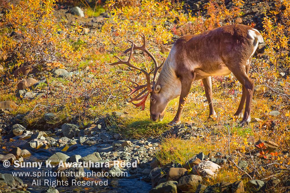 Bull Caribou grazing on fall color bush, Denali National Park, Interior Alaska, Autumn.