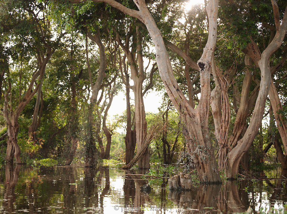 The Flooded Forest near the floating village of Kompong Phluk on the great Tonlé Sap lake, Cambodia