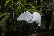 The Great Egret is found in many North American wetlands. They were hunted nearly to extinction in the late 19th century, as their plumes were coveted by the fashion industry and greedy plume hunters. The Audubon Society and other conservation movements were brought forth as a result.